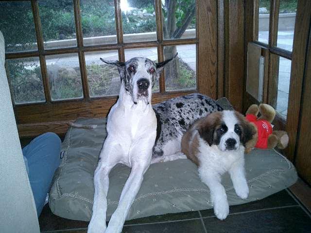 Sashie And Sophie Sasha A Great Dane Saint Bernard Pup